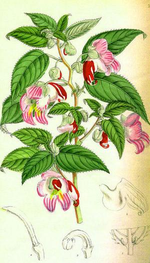 Impatiens parrotflower